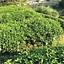 Zielona herbata w Chinotece