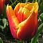 V Wystawa Tulipanów