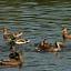 Kaczka krzyżówka - bezpłatne warsztaty przyrodnicze