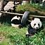 Poranek z pandą i zwierzętami