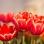 """""""Tulipanowe rękodzieła"""" – warsztaty szycia tulipanów z tkanin"""
