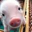 Bebiko Dla Mojej Świni