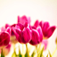 XI Wystawa Tulipanów w Wilanowie
