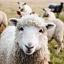 Zwierzaki na start: skoczne owieczki