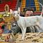 Międzynarodowa Wystawa Kotów Rasowych - Chorzów 2008